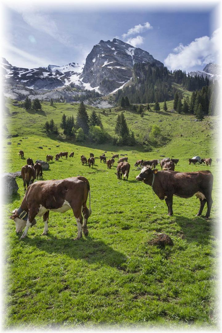 Coopérative du Reblochon - nos producteurs fermiers